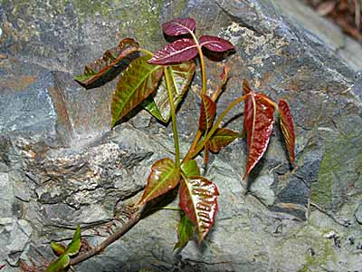 poison ivy plant fall. A characteristic of poison ivy
